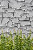 Pumila de escalada do Ficus na pintura que descasca fora de uma parede foto de stock royalty free