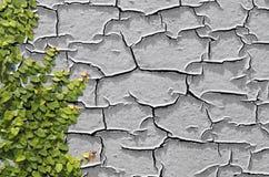 Pumila de escalada do Ficus em uma parede fotos de stock royalty free