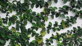 Pumila del Ficus que sube en la pared blanca almacen de video