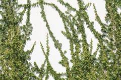 Pumila di ficus che scala sulla parete bianca Fotografia Stock