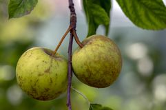 Pumila för Malus för Apple trädfilialer med gruppen av att mogna frukter, grönt guld- - läckra äpplen arkivbild