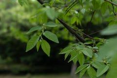 Pumila Λ feuilles-Ulmus Les Στοκ Εικόνες