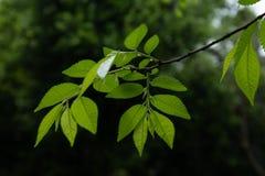 Pumila Λ feuilles-Ulmus Les Στοκ Φωτογραφία