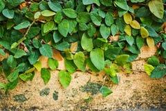 Pumila Ficus στους παλαιούς τοίχους ασβεστοκονιάματος Στοκ Εικόνα