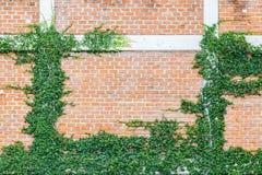 Pumila L do ficus que escala na parede de tijolo vermelho, Coatbuttons d mexicano Imagens de Stock Royalty Free