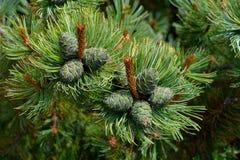 Pumila Pinus кедра ветви elfin с конусами Сибирь стоковое изображение