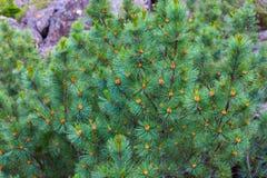 Pumila Pinus Стоковое Фото