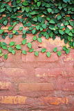 Pumila sulla parete rossa. Fotografia Stock