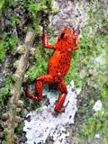 Pumilio βάτραχος-Ranita Venenosa rojiazul-Dentrobates βελών τζιν παντελόνι Στοκ Εικόνες