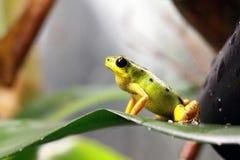 Pumilio jadu strzałki żaba wspina się brom Obrazy Stock