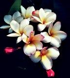 pumira Photos libres de droits