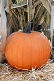 Pumkin against Corn Stalk Royalty Free Stock Photo