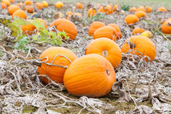 Pumkin field with different types of pumpkin on autumn day Royalty Free Stock Photography