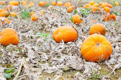 Pumkin field with different types of pumpkin on autumn day Stock Image