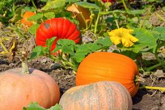 Pumkin field Royalty Free Stock Photography