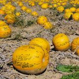 Pumkin field Stock Photography