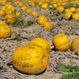 Pumkin field. Yellow pumkin field in autumn Stock Photography