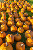 Pumkin fram. Pumkins are laying on the ground waiting for sell Royalty Free Stock Photos