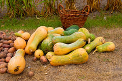 Pumkin harvest Stock Photo