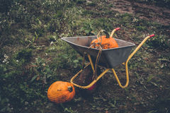 Pumkin harvest with a wheelbarrow. In rural environment Royalty Free Stock Photography