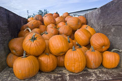 Pumkin patch Royalty Free Stock Photos