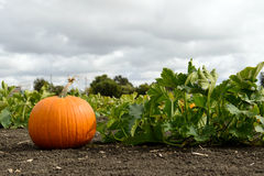 Pumkin patch Royalty Free Stock Photography