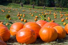 Pumkin Patch Stock Photography