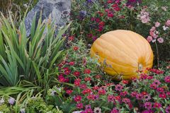 Pumkin and Rock with Flowers. Large pumpkin in colorful flowerbed Stock Images