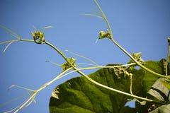 Pumkin vine Royalty Free Stock Photo