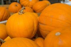 Pumking Ernten des frischen organischen orange Riesen vom Bauernhof am farme Lizenzfreie Stockfotos