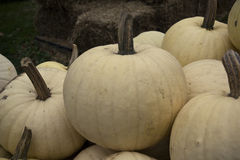 Pumkins blancs Photo stock
