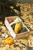 Pumkins pequenos e uma cesta Fotografia de Stock Royalty Free