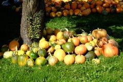 Pumkins. Pumpkins on display at local farm Royalty Free Stock Image