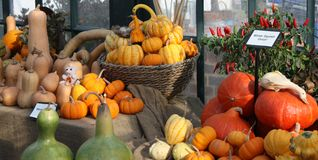 Pumkins and Squashes. Royalty Free Stock Photo