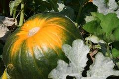 Pumkpin multicolor Fotografía de archivo