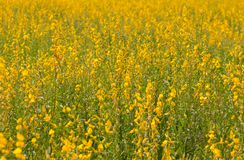 Pummelo beautiful yellow flowers blooming in the fields. stock images
