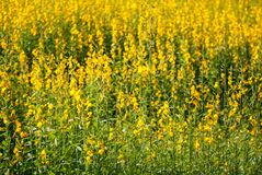 Pummelo Field. Pummelo or Yellow Indian Hemp field, plant to replenish organic into soil Royalty Free Stock Photos