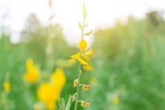 Pummelo flower or sunn hemp nature green. Plant beautiful yellow flower Royalty Free Stock Photos