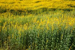 Pummelo Field. Pummelo or Yellow Indian Hemp field, plant to replenish organic into soil Royalty Free Stock Photography