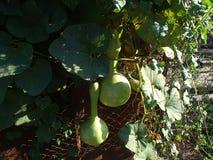 Pumpa-flaskan Lagenariya, indisk gurka, den vietnamesiska zucchinin tillhör familjcucurbitaceaen Arkivfoto