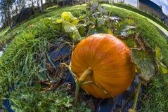 Pumpa grönsakträdgård, apelsin, stam, gräs, homeg Royaltyfria Bilder