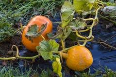 Pumpa grönsakträdgård, presenning, apelsin, stam, självodlat pr Arkivbild