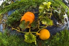 Pumpa grönsakträdgård, presenning, apelsin, stam, självodlat pr Royaltyfri Bild