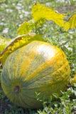 Pumpa i trädgården Royaltyfria Bilder
