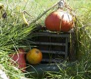 Pumpa och zucchini Arkivfoton