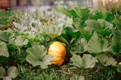 Pumpa v?xer i tr?dg?rden Mognar i höstträdgården som är till salu den på den utomhus- bondemarknaden royaltyfria bilder