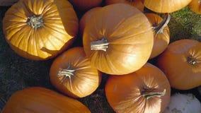 Pumpaplockning halloween illustrationpumpor ställde in vektorn Lantlig lantlig bakgrund för höst med grönsakmärg arkivfilmer