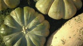 Pumpaplockning halloween illustrationpumpor ställde in vektorn Lantlig lantlig bakgrund för höst med grönsakmärg stock video