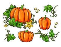 Pumpateckningsuppsättning Isolerad hand dragen grönsak, växt vektor illustrationer