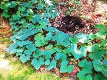 Pumpaträd på jordningen royaltyfri bild